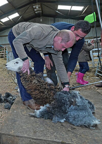 prince-william-sheep-shearing