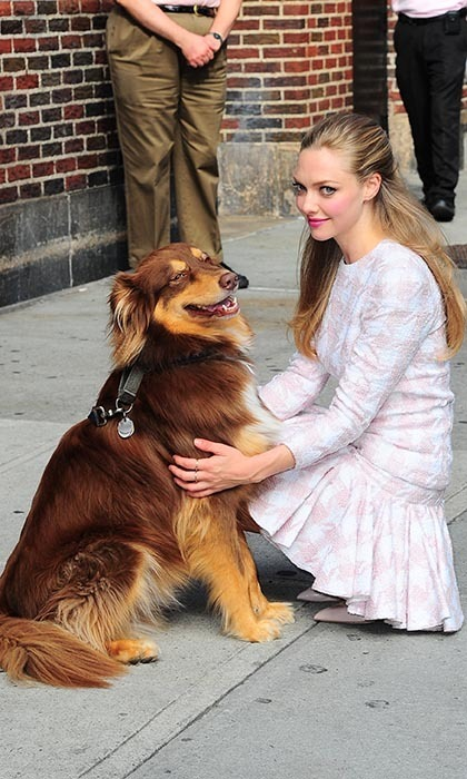 For an appearance on 'David Letterman,' Amanda Seyfried brought along her beloved Australian Shepherd, Finn, who seemed overjoyed at the notion of being included in the festivities.