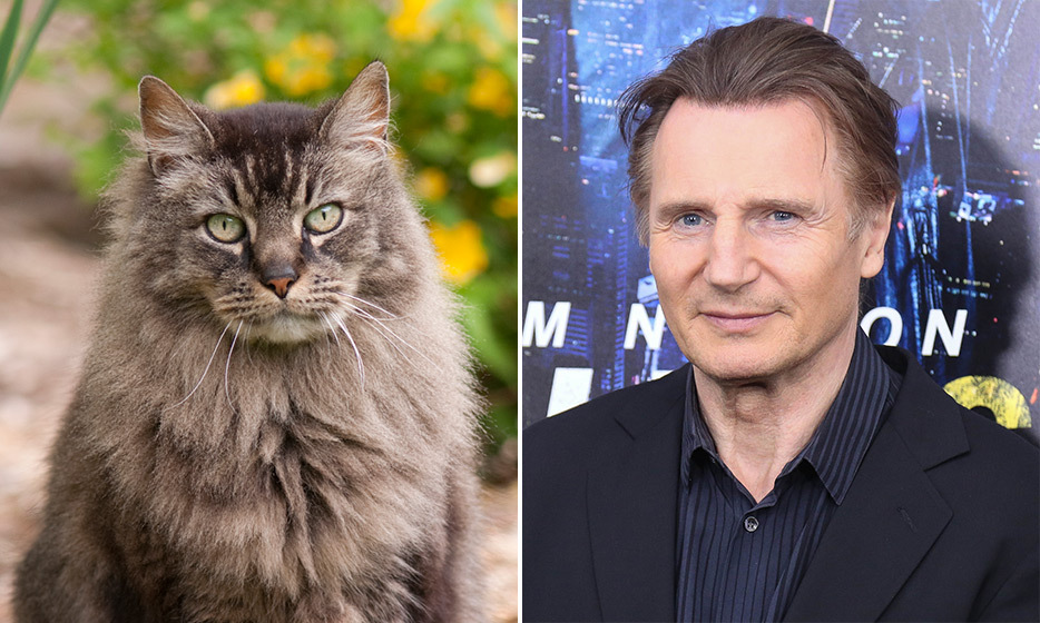 <h4>MAINE COON + LIAM NEESON</h4>