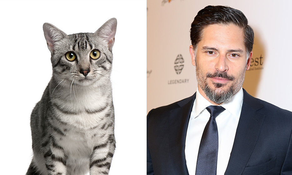 <h4>EGYPTIAN MAU + JOE MANGANIELLO</h4>