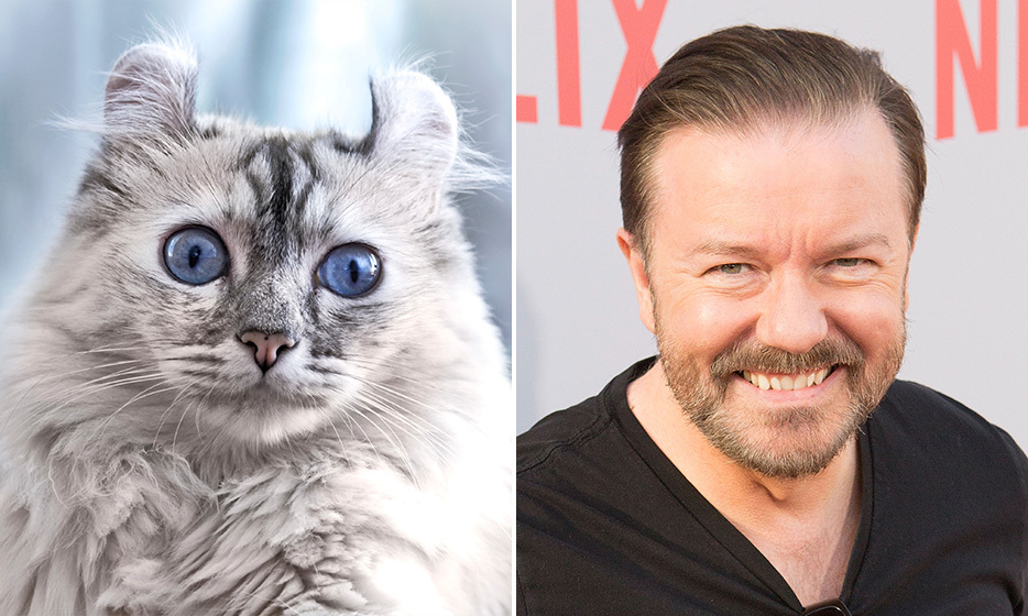 <h4>AMERICAN CURL + RICKY GERVAIS</h4>