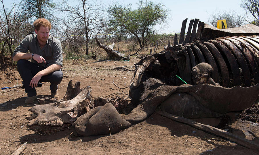<p>The staunch conservationist examines the carcass of a rhino slaughtered for its horn in Kruger National Park, South Africa.</p>
