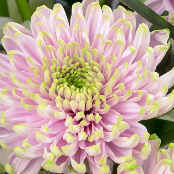 The Princess Charlotte chrysanthemum is pink with green tips.
