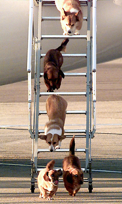 The corgis travel with the Queen everywhere, from Sandringham to Balmoral.
