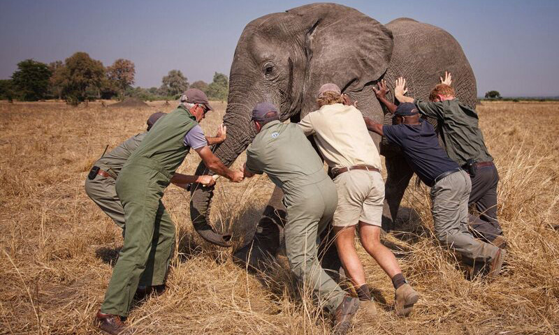 "Prince Harry: ""A few of us trying to 'tip an elephant'. This young male was fighting the sedative drug and was headed towards the trees, which would have made it very difficult for us to get him on the truck. All directions were taken from Kester Vickery from Conservation Solutions and Andre Uys, the vet."" 