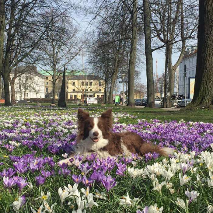 The Danish royal palace shared a photo of Ziggy just ten days before his death, enjoying the springtime weather.