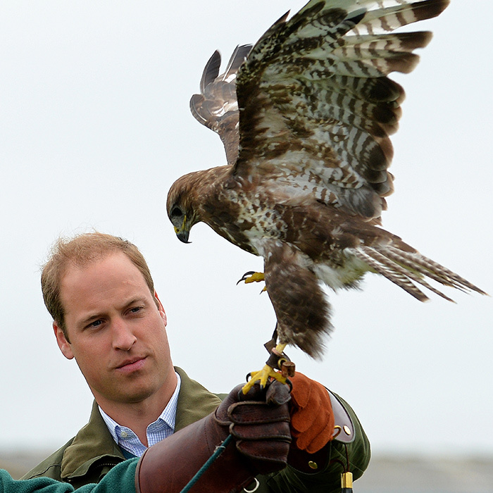 William stays cool, calm and collected while holding a Harris Hawk during an engagement in Wales in the summer of 2013.   