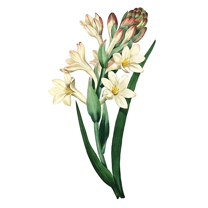 <h4>TUBEROSE </h4>