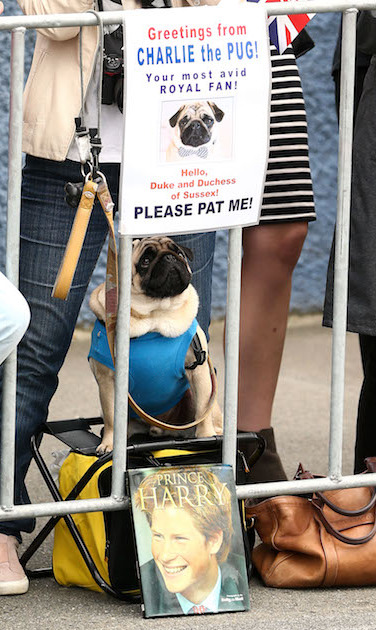 A sweet little pug was there to greet the royal couple!