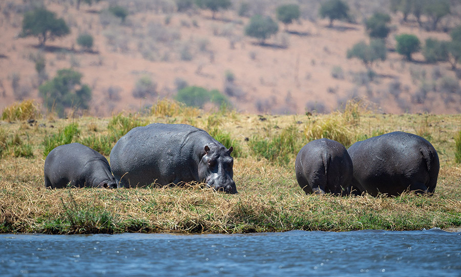 Hippos! It must have been amazing for Harry to see these incredible animals on the banks of the Chobe River. 