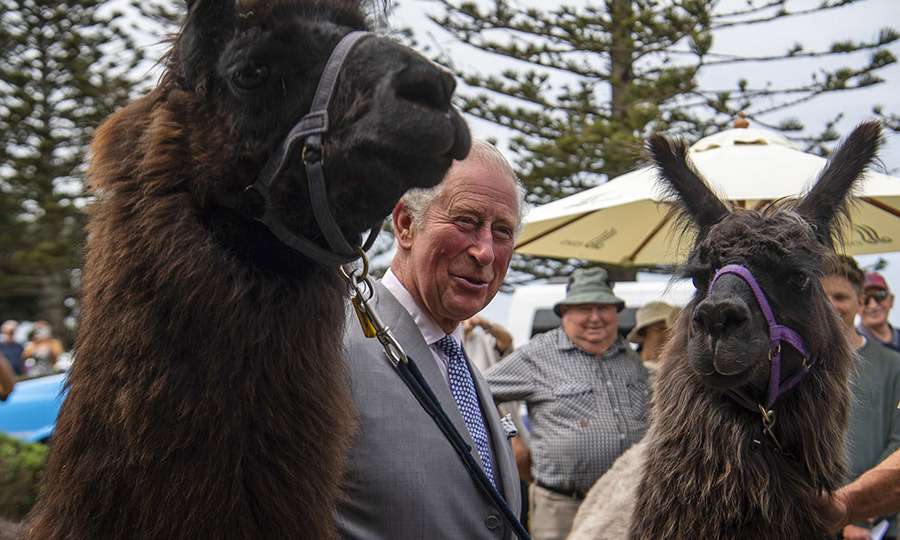 Charles wrapped up his time in New Zealand with these two furry llama friends!