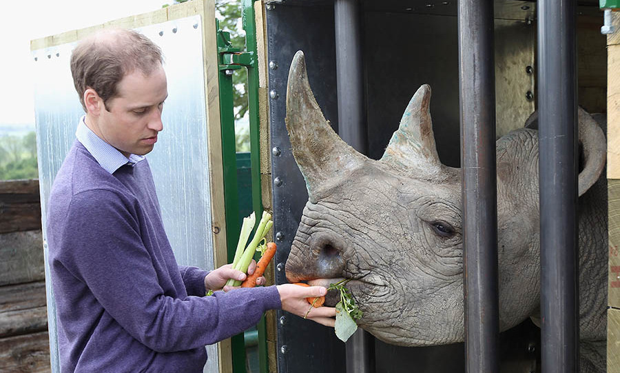 Prince William fed a 5-year-old black rhino called Zawadi  on June 6, 2012 in Port Lympne, England. Photo: © Chris Jackson/Getty Images